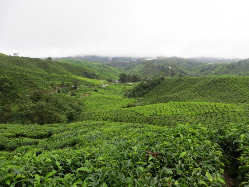 Teeplantagen in den Cameron Highlands
