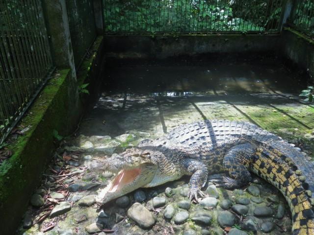 Krokodil in einem ultrakleinen Gehege