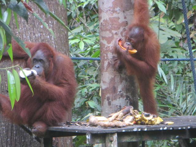 Orang Utans im Wildlife Centre