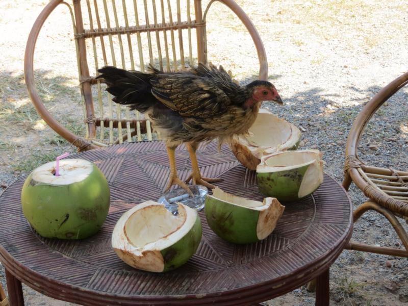 Kokosnüsse gehören zu Südostasien. Hühner ebenfalls.