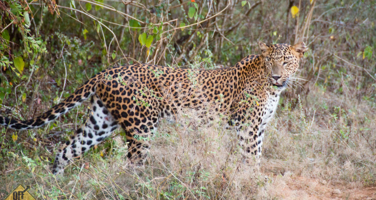 Leopard im Yala Nationalpark