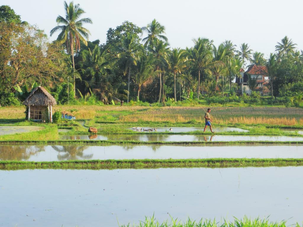 Spaziergang durch die Reisfelder Ubuds