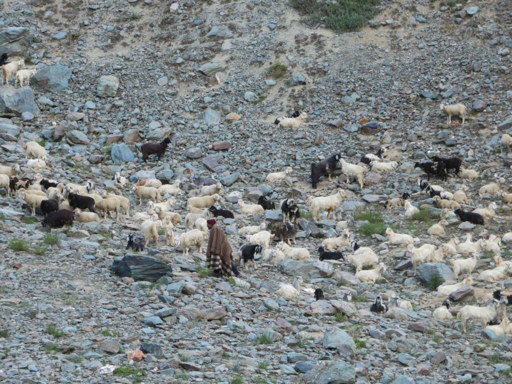 Ziegenhirte in Ladakh