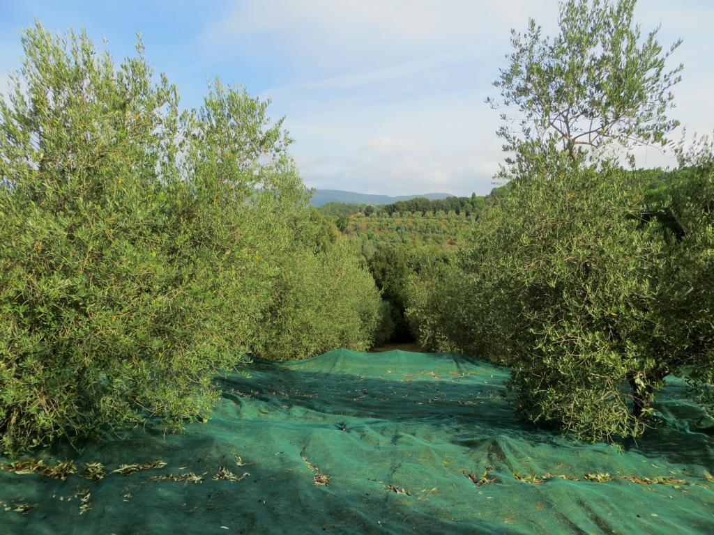 Netze werden am Boden verlegt, damit alle Oliven aufgefangen werden können.