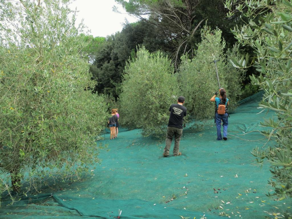 Bei der Olivenernte... Eine für mich völlig neue Arbeit.