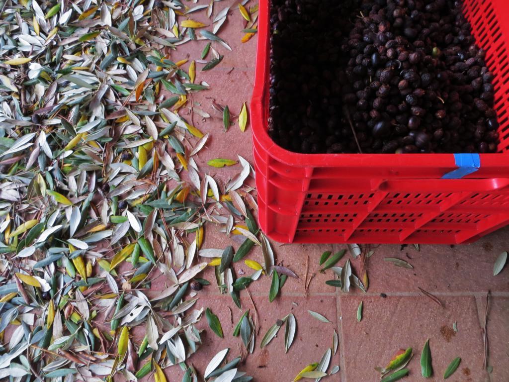 Die Olivenernte fiel dieses Jahr durch zu vielen Regen leider gering aus. Nur gerade 100 Kg konnten geerntet werden.