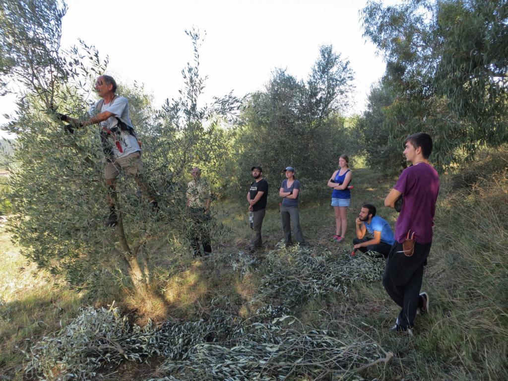 Anlehren der Wwoofer durch Enrico: So schneidet man Olivenbäume zurück.