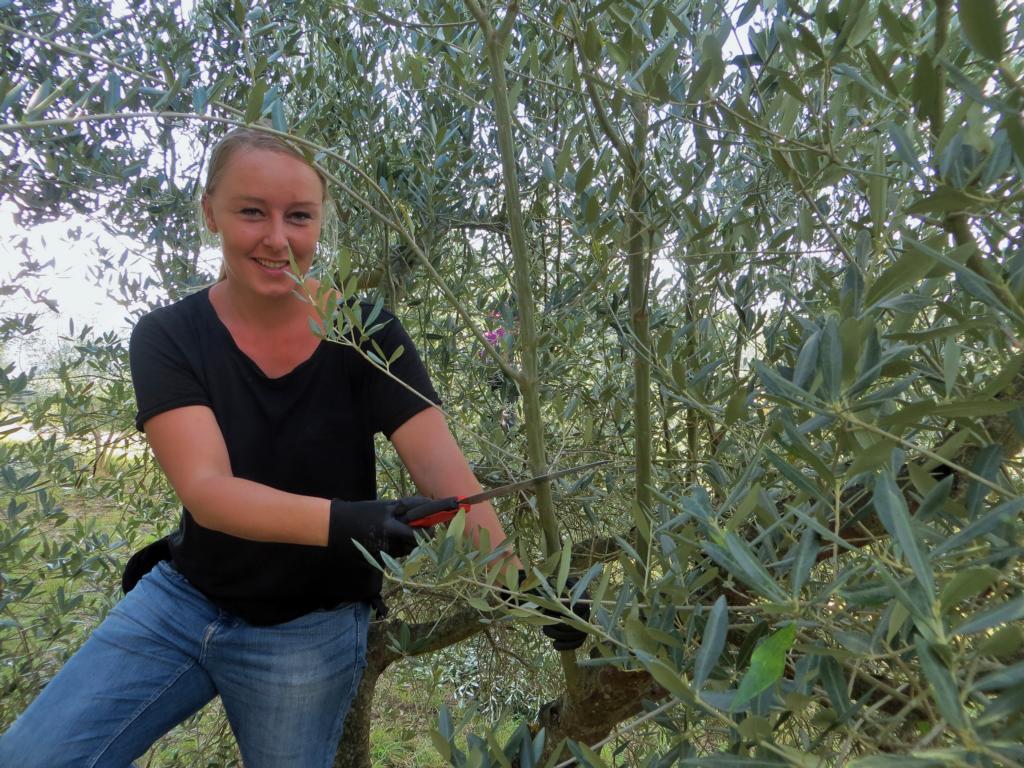 Beim Zurückschneiden der Olivenbäume