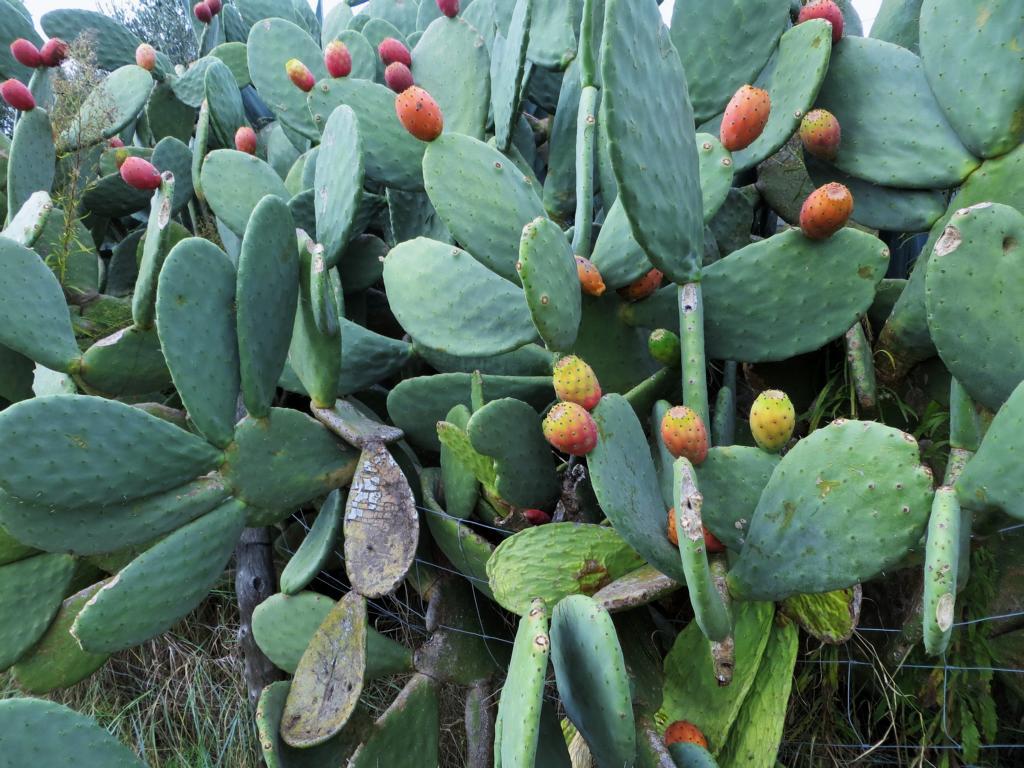 Kaktusfeigen aus denen wir Marmelade hergestellt haben
