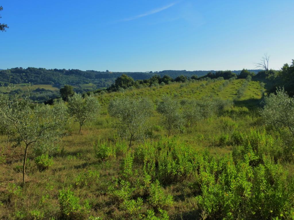 Olivenhain in der idyllischen Umgebung der Toskana