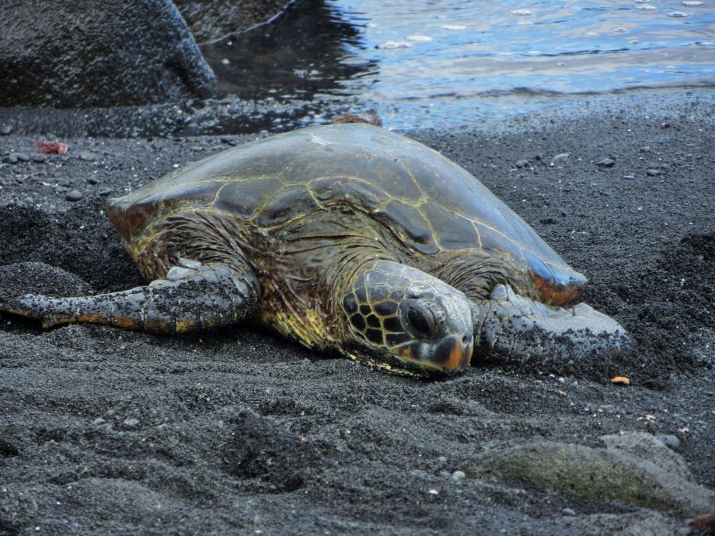 Schildkröte am Black Sand Beach auf Big Island