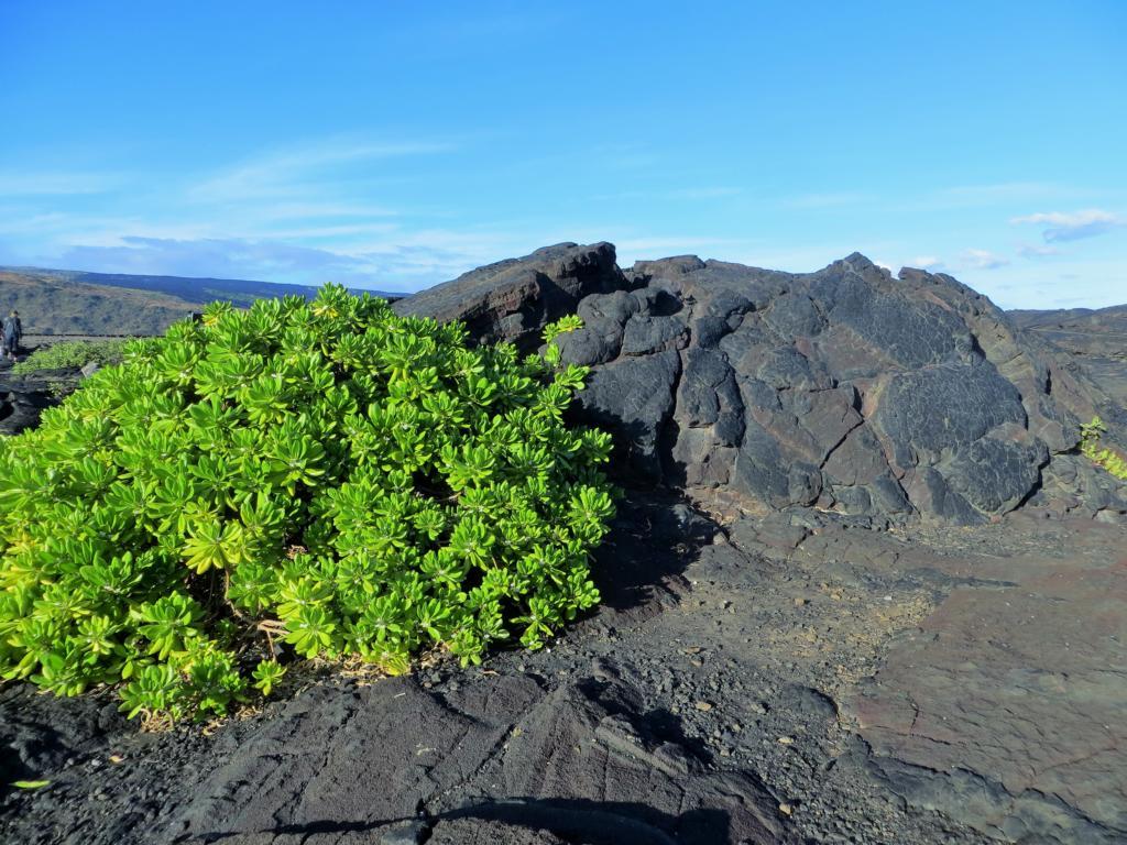 Grünzeug kämpft sich durch längst erstarrte Lava