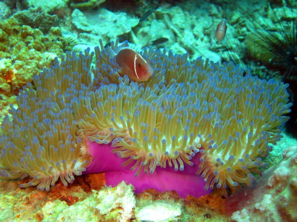 Anemonenfisch in lila Anemone. Bild: Karina von Zauberhaftes Anderswo