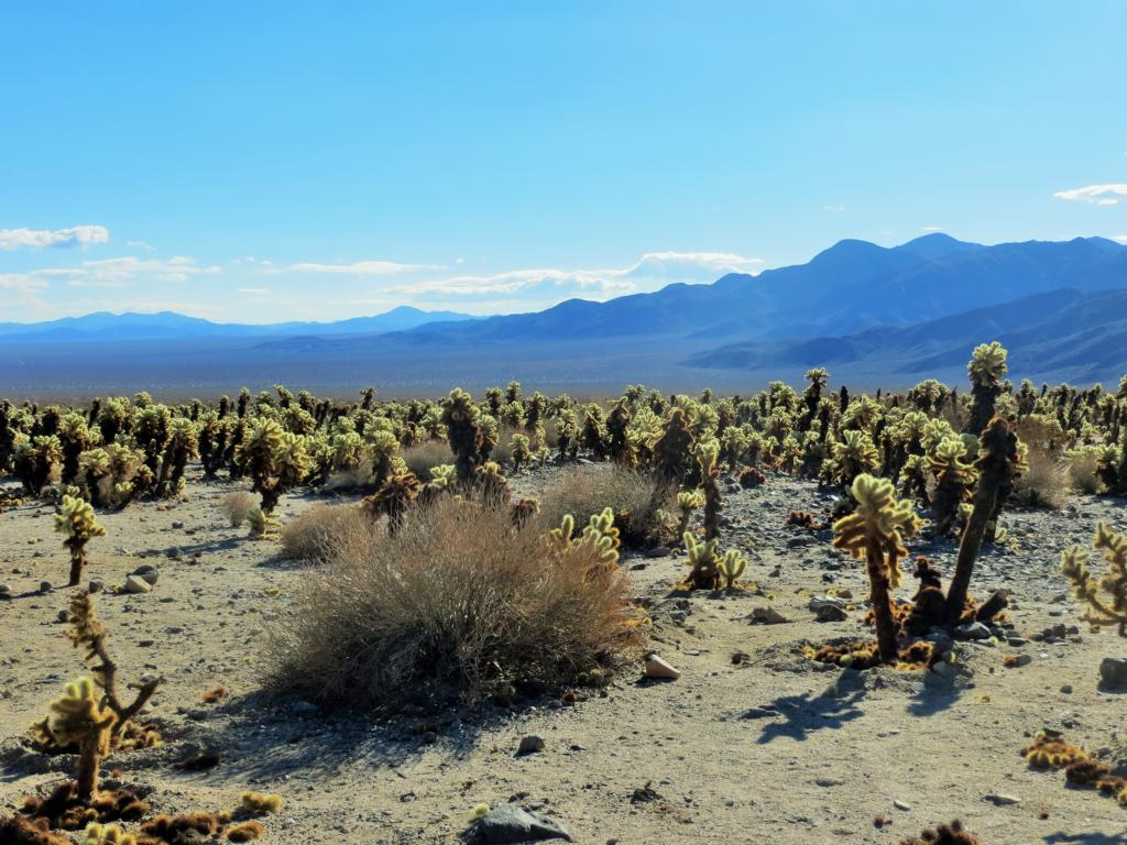 Der Kaktusgarten im Joshua Tree Nationalpark.