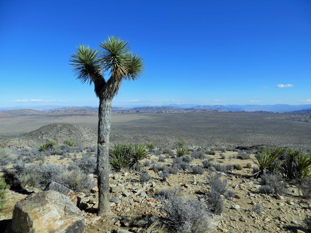 Einer der vielen Joshua Trees im Nationalpark.