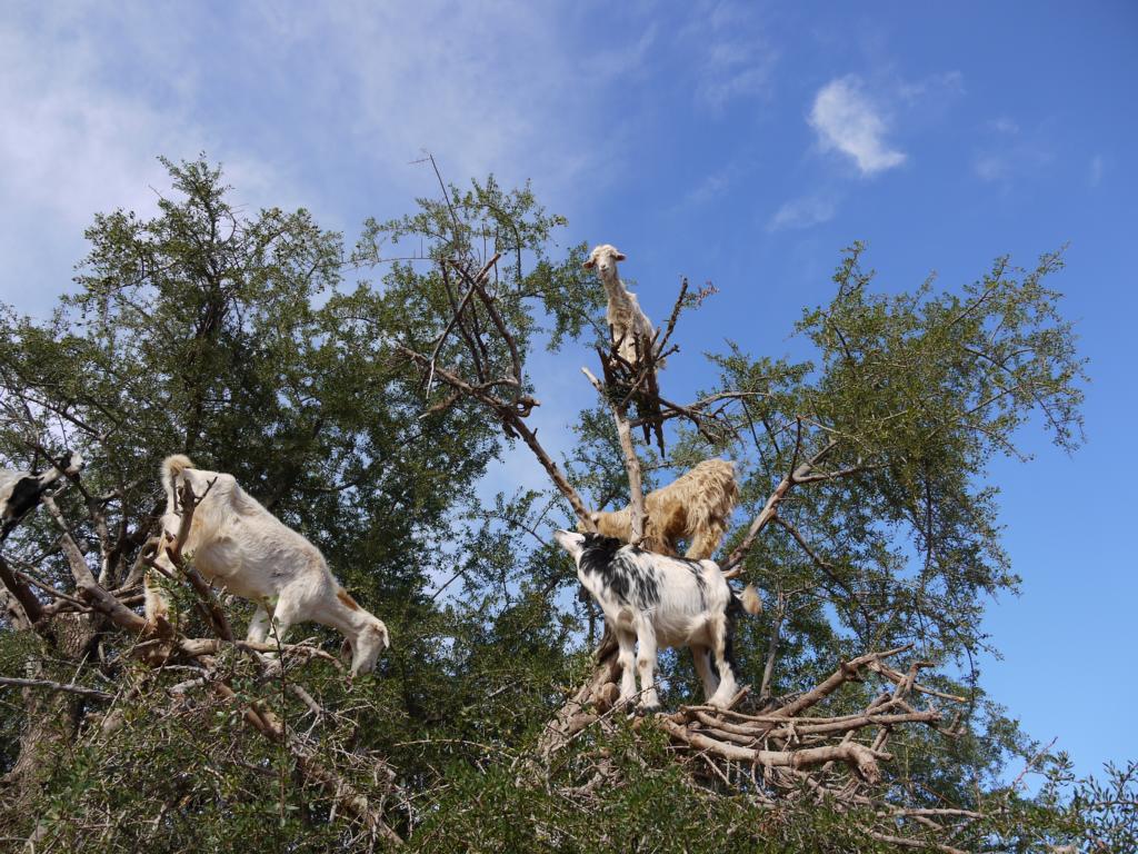 Ziegen in Marokko. Foto: Elke von Meerblog