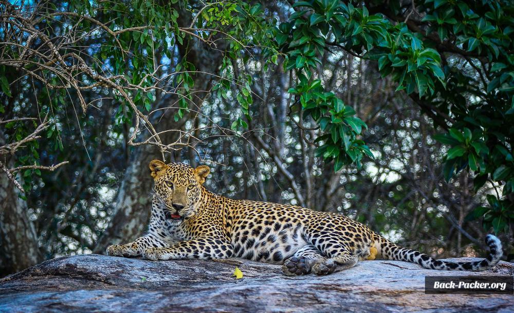 Leopard im Yala Nationalpark. Foto: Steve Hänisch