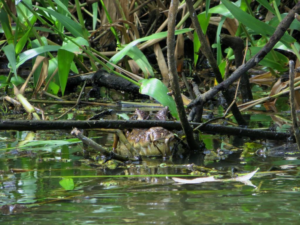 Der Kaiman im Los Guatuzos Wildlife Center bei den Solentiname Inseln in Nicaragua.