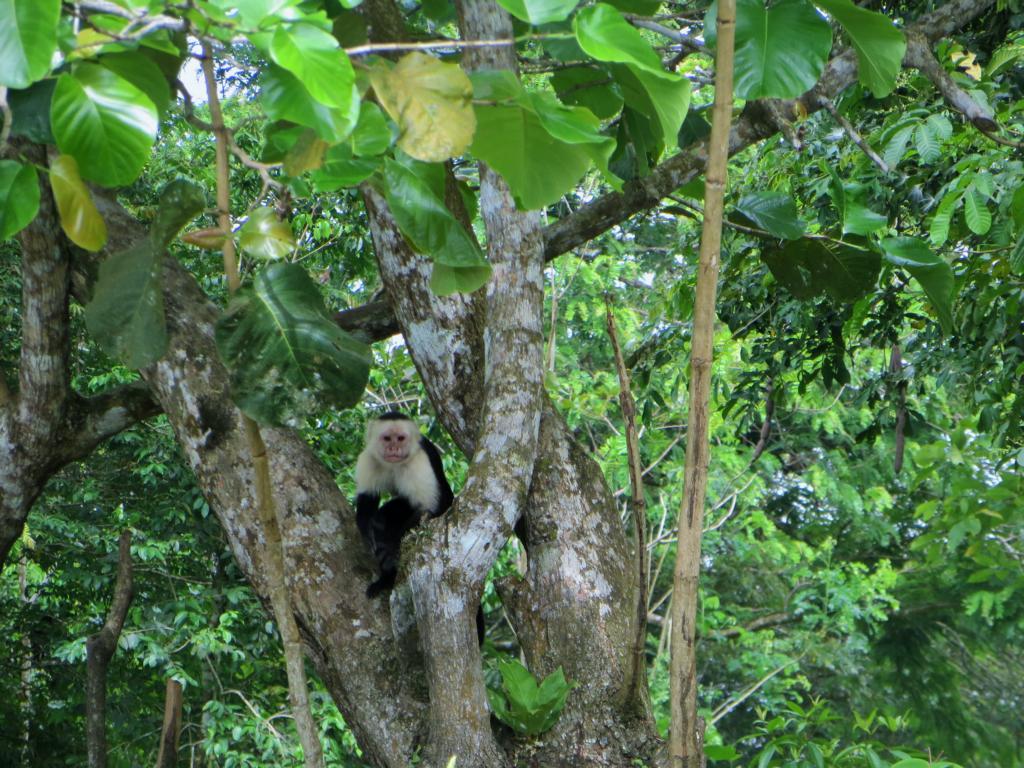 Auf der Fahrt auf dem Papaturro Fluss, werden wir von Affen beobachtet.