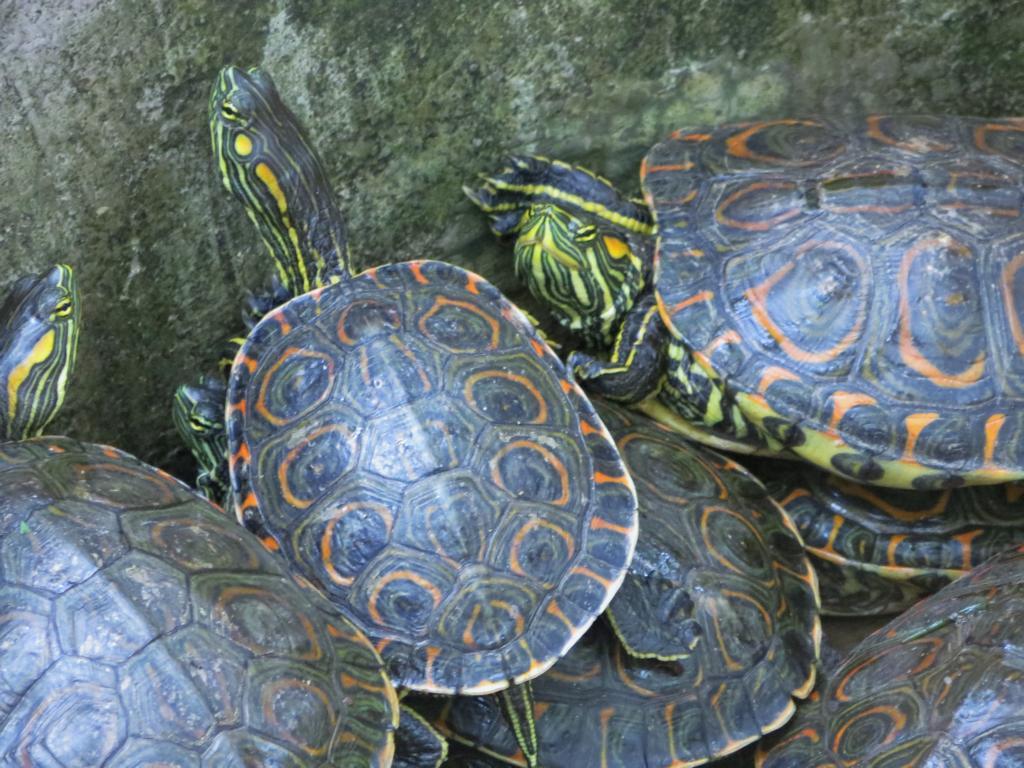 Schildkröten im Los Guatuzos Wildlife Refuge bei den Solentiname Inseln.
