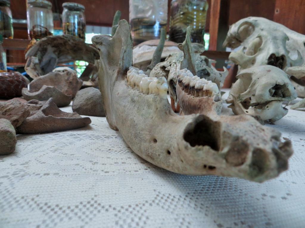 Das Skelett eines Kaimanes, im Hintergrund die konservierten Schlangen.