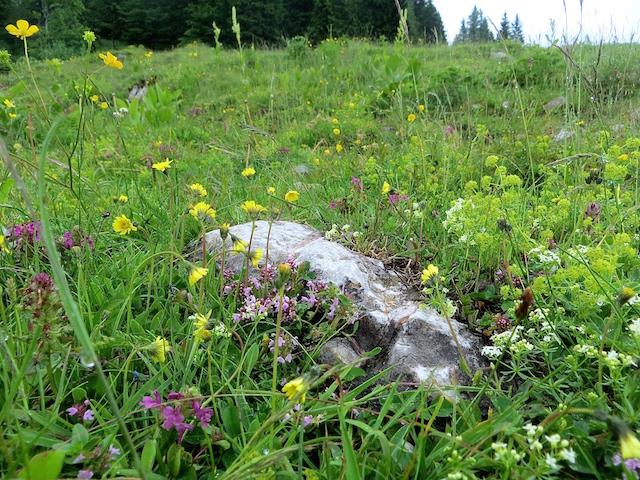 Idyllisch grüne Blumenwiesen auf der Alp.