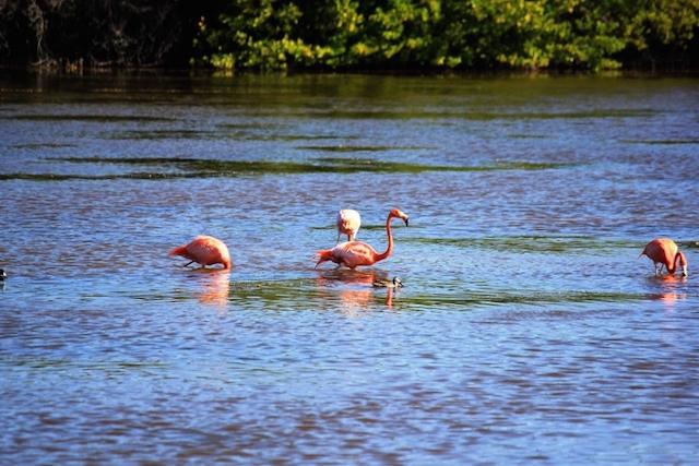Flamingos auf Kuba.