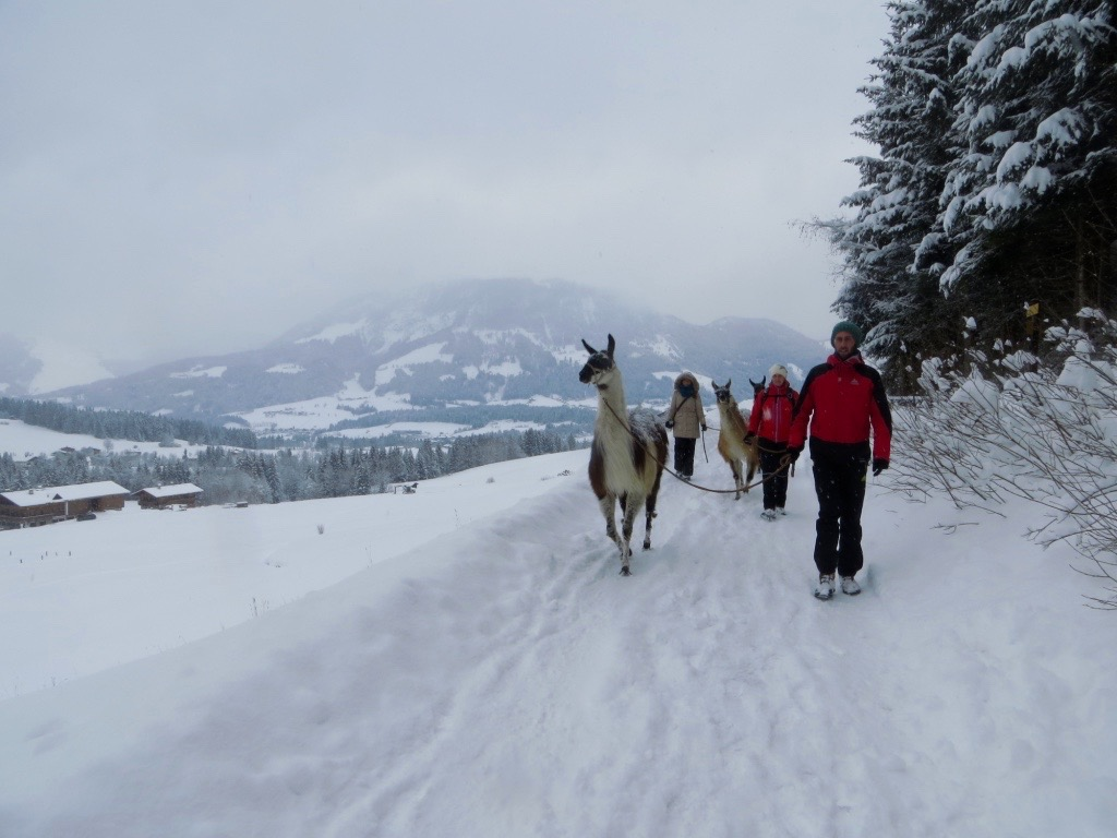 Lamatrekking in Tirol, ein Vergnügen für alle.