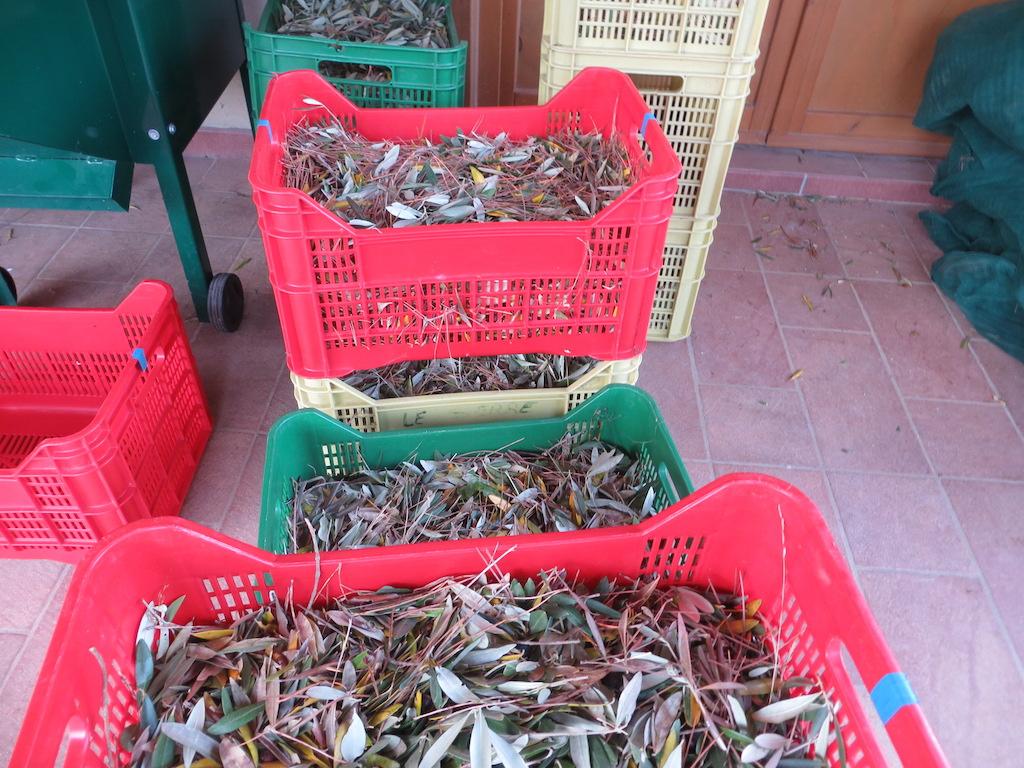 Mithilfe bei der Olivenernte in Italien.