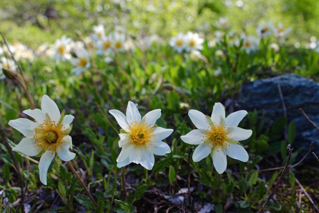 Blumenpracht auf der 5-Seenwanderung in Zermatt.